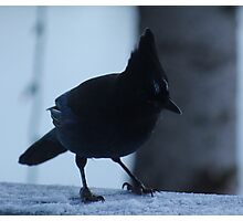 Stellers Jay Photographic Print
