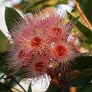 Red Gum by Jack Miller