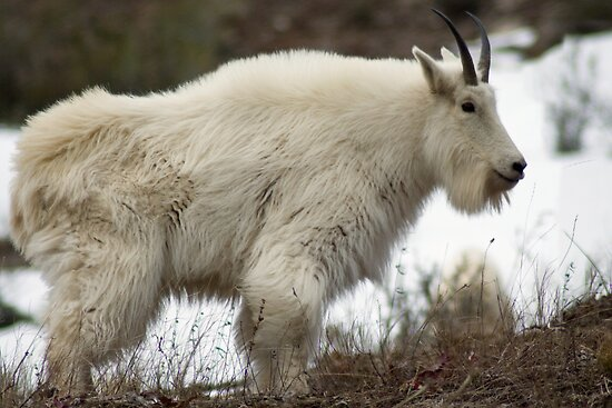 Mountain Goat - Alpine, Wyoming by Mitchell Tillison