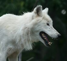 Hungry Arctic Wolf by anibubble