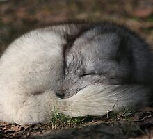 Arctic fox sleeping with its by anibubble