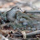 Grey Shrike Thrush by Chris Cobern