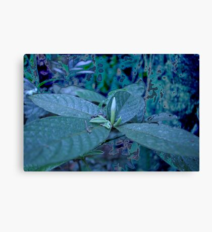 Floating ~ Candle Bud II, Bartle Frere Rainforest FNQ Canvas Print