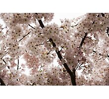 A Cloud of Pastel Pink Cherry Blossoms Celebrating the Arrival of Spring  Photographic Print
