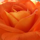 Orange Rose by SKNickel