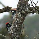 """Acorn Woodpeckers """"double trouble"""" by SKNickel"""