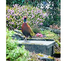 Pheasant Escape Photographic Print