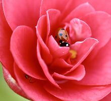 Pink Camellia Flower And ladybug by rumisw