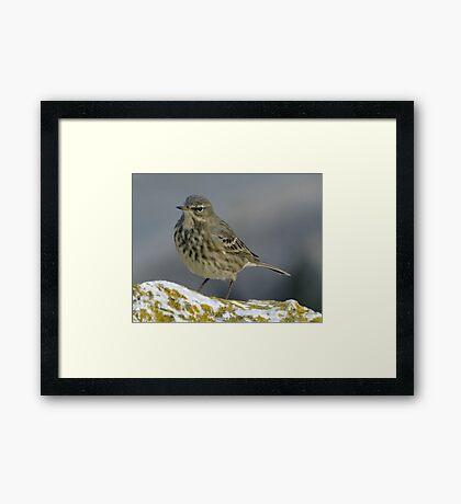 Rock Pipit  2012-12-09  Lyme , Dorset Framed Print