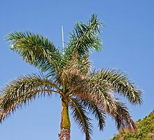 Palm tree in St Maarten by Keith Larby
