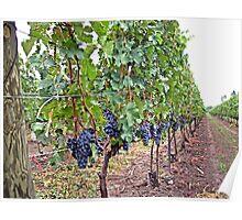 Wine Grape Niagara Poster