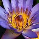 Blue Water Lily  by Bev Pascoe