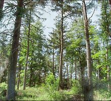 Langsett Forest by Sarah Couzens