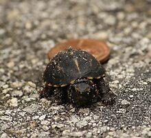 Baby Box Turtle by roadsidestills