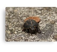 Baby Box Turtle Canvas Print