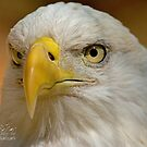 Bald Eagle II by Photography by TJ Baccari