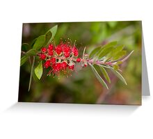 Wattle Brush Greeting Card