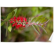 Wattle Brush Poster