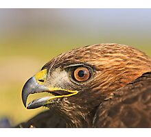 Red Tail Hawk - Family:  Accipitriformes Photographic Print