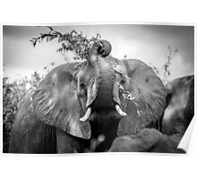 Silly Elephant Poster