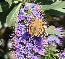 Painted Lady Butterfly on Purple Flowering Echnia by Sandra Gray
