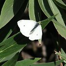 White Butterfly by Sandra Gray