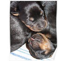 A Beautiful Dreamer - Rottweiler Puppies Poster