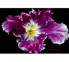 a Tulip with a Picasso touch.. Photographic Print
