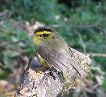 A yellow-throated fulvetta by anibubble