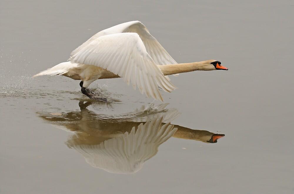 Swan Taking Flight by Richard Heeks