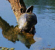 Turtle  by mltrue