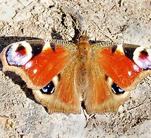 Peacock Butterfly by Paul Revans