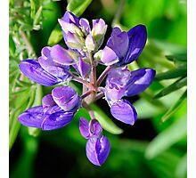 Marin Headlands  •  Lavendar Flower  •   California Photographic Print