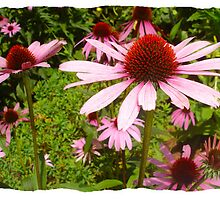 Pink Coneflower Dancers by Margie Avellino
