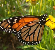 Monarch Butterfly by A.H. Thom