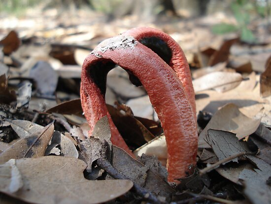 Stinkhorn fungi by May Lattanzio