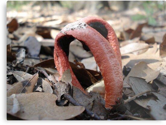 Stinkhorn fungi by May Lattanzio