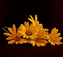 A Bouquet of Yellow Daisies Laying on a Black Background by Buckwhite