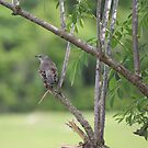 Mockingbird by Bob Hardy