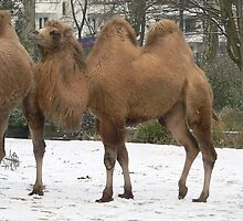 3 Bactrian Camels in the by anibubble