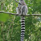 Ring-tailed Lemur by lezvee