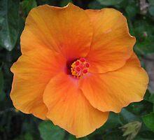 Hibiscus Flower by nokomis