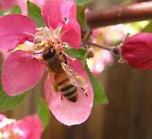 Bumble Bee and Apple Blossom  by nokomis