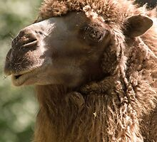 A portrait of a camel with a by anibubble