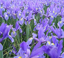 Irises at Floriade by carltonfan
