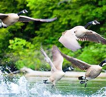 Gaggle of Geese taking Flight on Lake George, Adirondacks by TonyBeaverPhoto