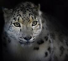 Snow Leopard by DanielTMiller