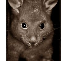Brushtail Possum by Shannon Benson