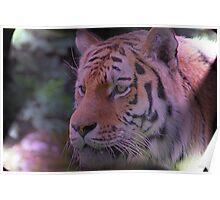 Tiger stalking........ Poster