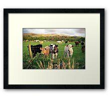 Calves of Llanfairfechan Framed Print